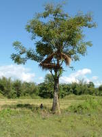 Farmers construct watchtowers on trees