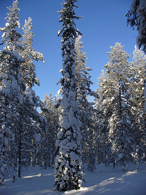 When the snow melts, the trees can absorb carbon dioxide
