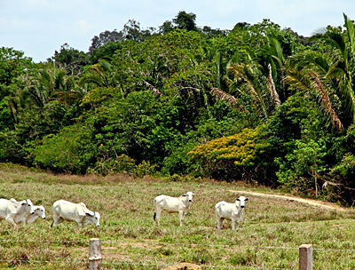 Grazing cattle at one of the many cattle farms in Rondonia
