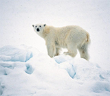 Polar bear – a symbol of climate change