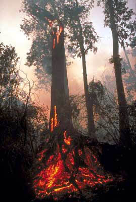Logging makes forest fires more devastating