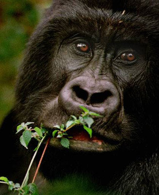 an eleven-year-old mountain gorilla