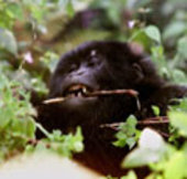 An adolescent mountain gorilla
