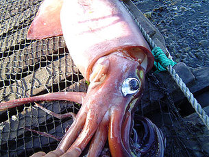 Giant Squid from Chile