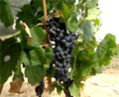 Wine grapes - bacchus