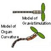 Model of Gravistimulation and Model of Organ Curvature
