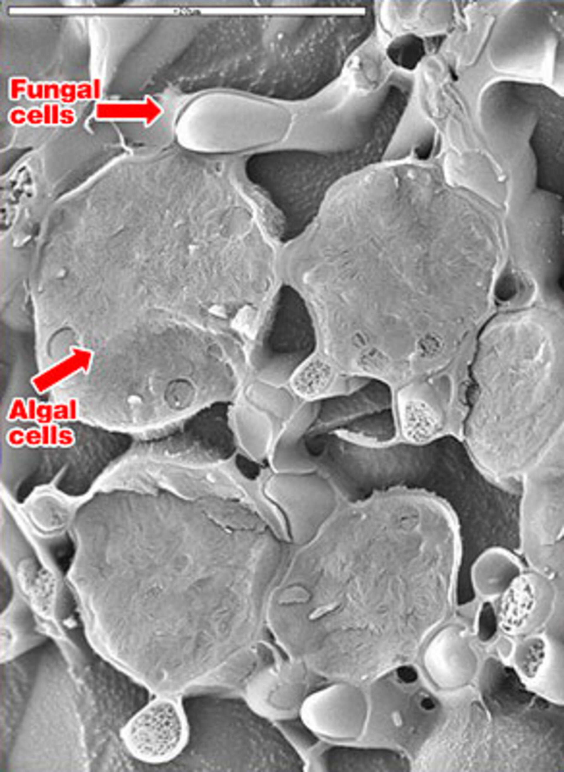 Electron microscopic image of lichen following post-flight analysis. The cells are complete and not broken