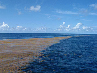 Sargassum in the Gulf of Mexico