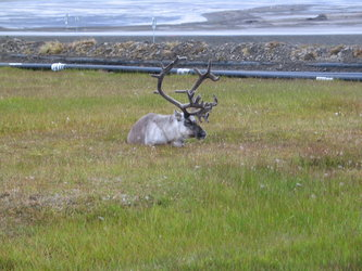 The reindeer was quite amazing with huge impressive antlers