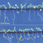 Waving and coiling in Arabidopsis seedlings