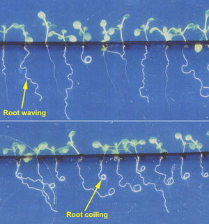 WAICO investigates root waving and coiling in Arabidopsis seedlings