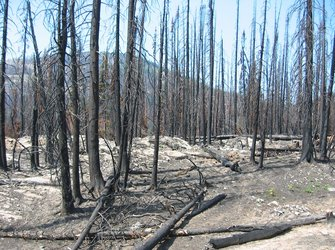 Charred forest following a fire