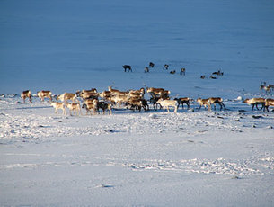 A reindeer herd in Sweden