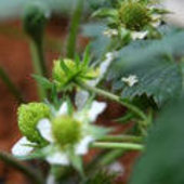 Strawberries growing in the Mars500 greenhouse