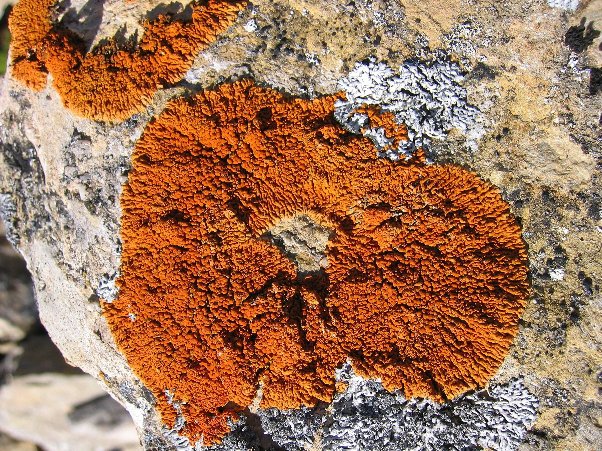 Xanthoria Elegans on Expose-E was collected in the mountains of Spain