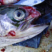 Farmed fish damaged by jellyfish