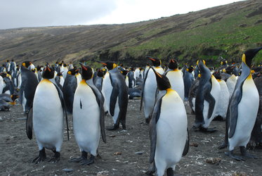 Penguins of Kerguelen