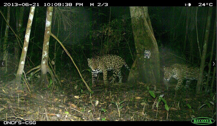 Jaguars trigger the cameras at CSG