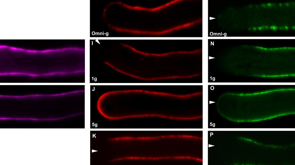 Changes in plant pollen tubes highlighted with fluorescent dye