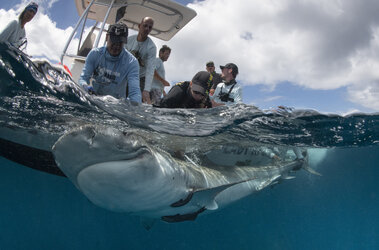 Tiger shark being captured by the tagging team