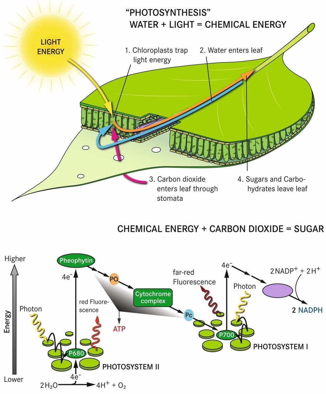 Photosynthesis Reactions - Len Academy