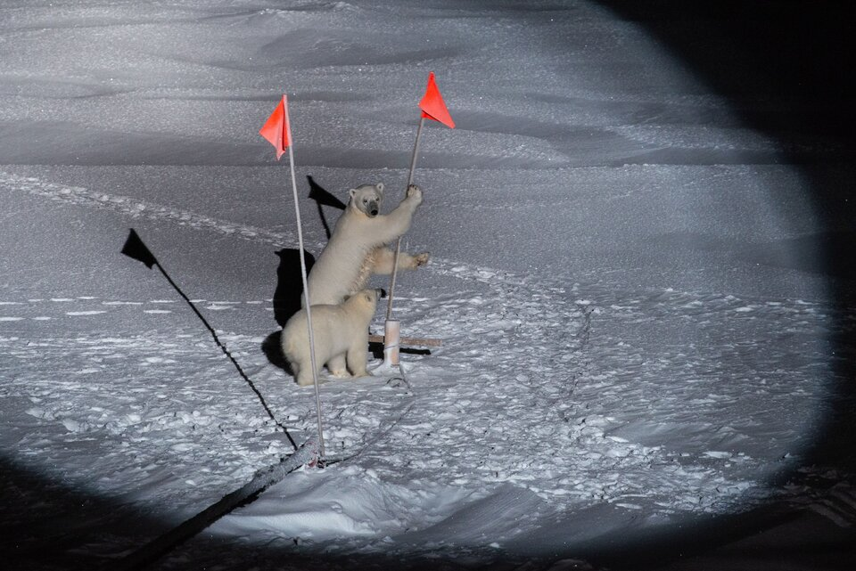 Polar bears taking part in the MOSAiC Arctic expedition