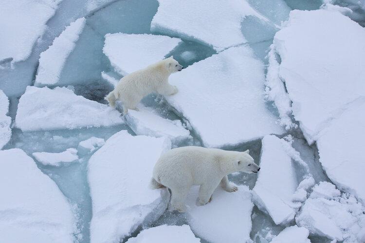 Victims of diminishing Arctic sea ice