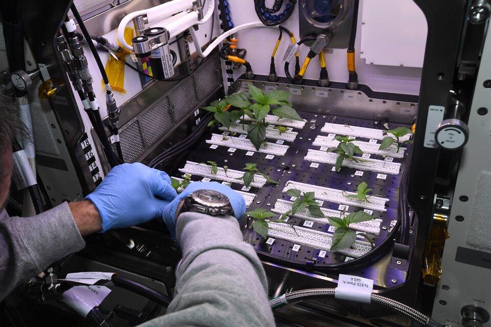 Piments du Chili de Hatch, Nouveau-Mexique poussant sur la Station spatiale internationale