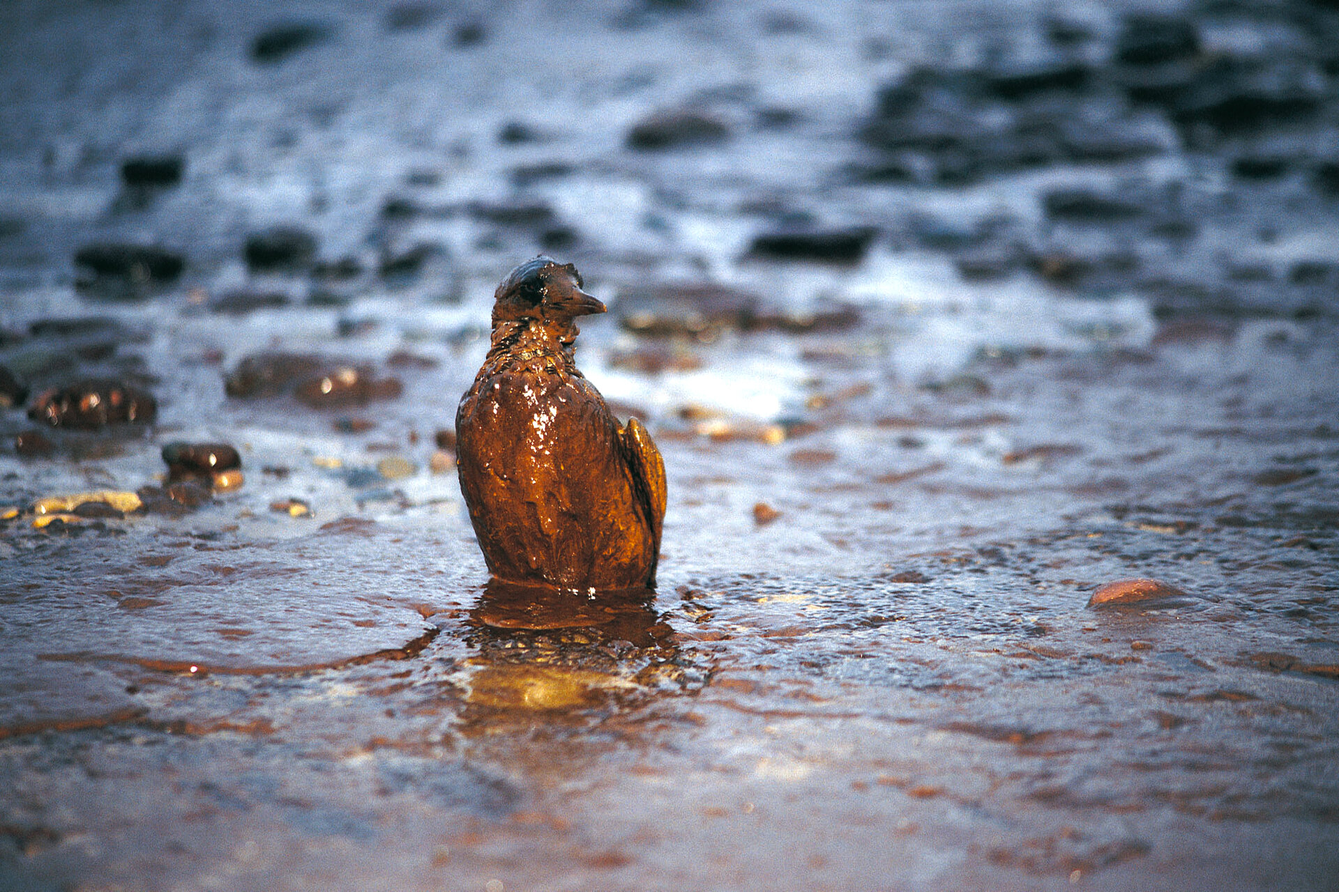 Oil spills can affect wildlife on land and at sea